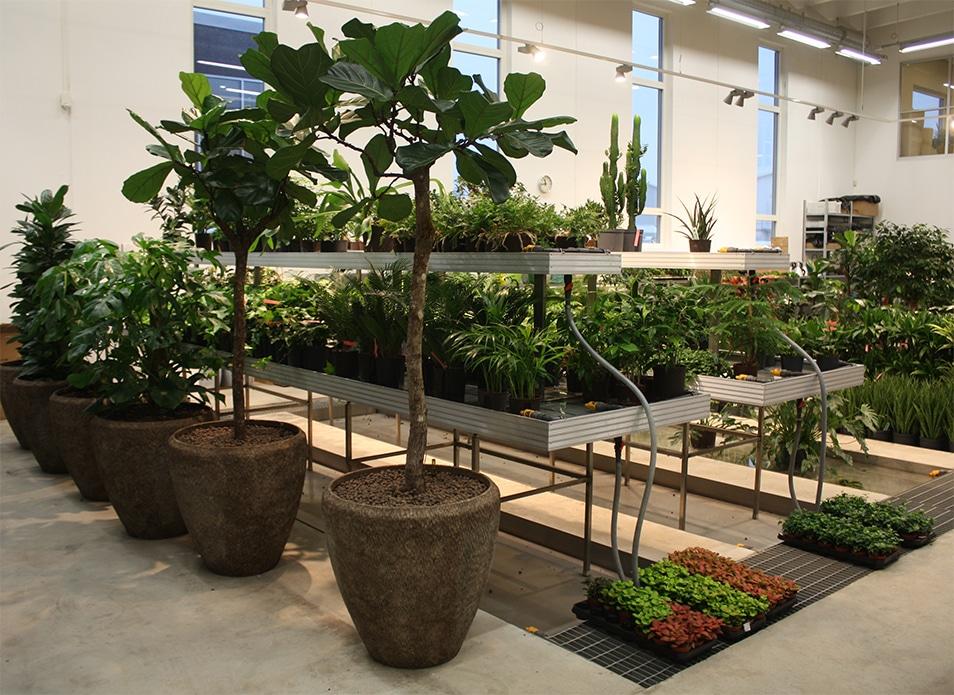 Förberett i växthuset för leverans till Continental